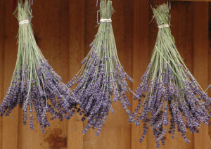 drying-lavender-lo